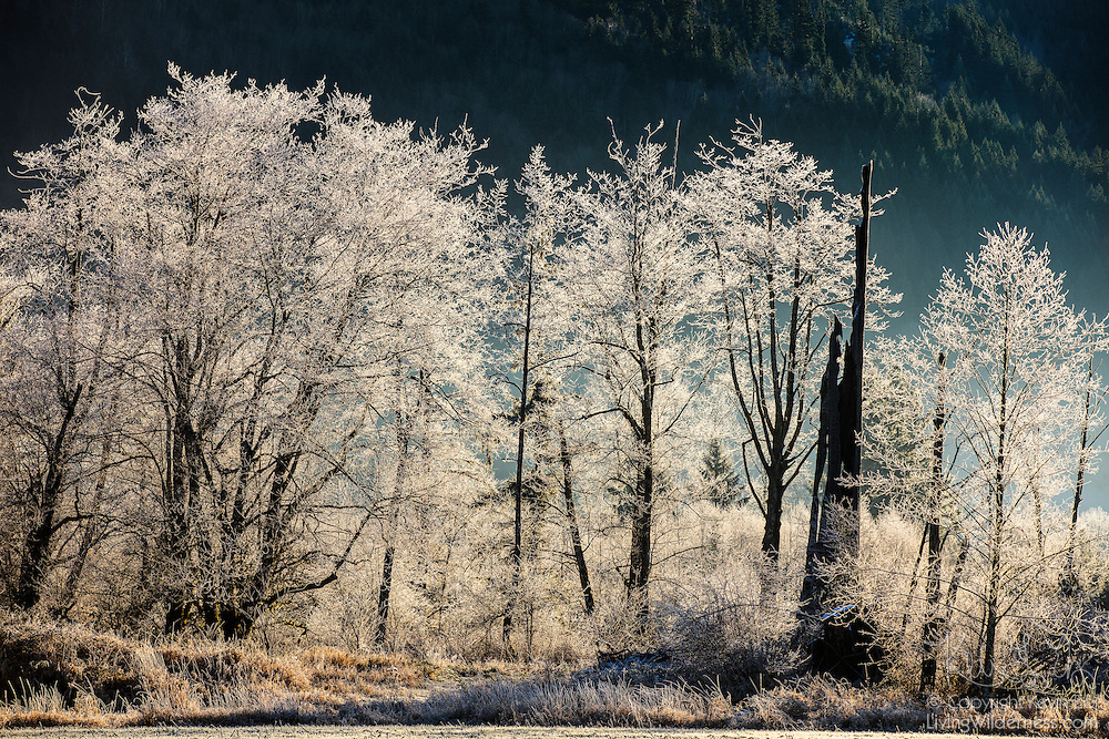 Trees covered in frost brightly stand out from the shaded hillside along Black Slough near Deming, Washington. Freezing fog rising from the slough on a 17°F morning coated the trees in ice.