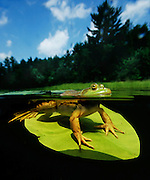 Bullfrog (Rana catesbeiana) on lily pad in lake - split view - Quebec, Canada