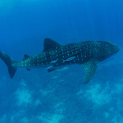 Whale shark (Rhincodon typus), swimming near the sea bed with a shoal of rainbow runner (Elagatis bipinnulata), Honda Bay, Palawan, the Philippines, Sulu Sea