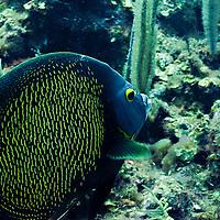 Angelfish Close Up, Pomacanthus paru, Grand Cayman