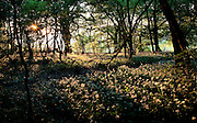 Golden Sunset light shines through a wood onto Wild garlic flowers in Crickley Hill on the Cotswold Way