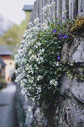 THEMENBILD - Blumen an eine Steinmauer während der Corona Pandemie, aufgenommen am 17. April 2019 in Hallstatt, Österreich // Flowers on a stone wall during the Corona Pandemic in Hallstatt, Austria on 2020/04/17. EXPA Pictures © 2020, PhotoCredit: EXPA/ JFK