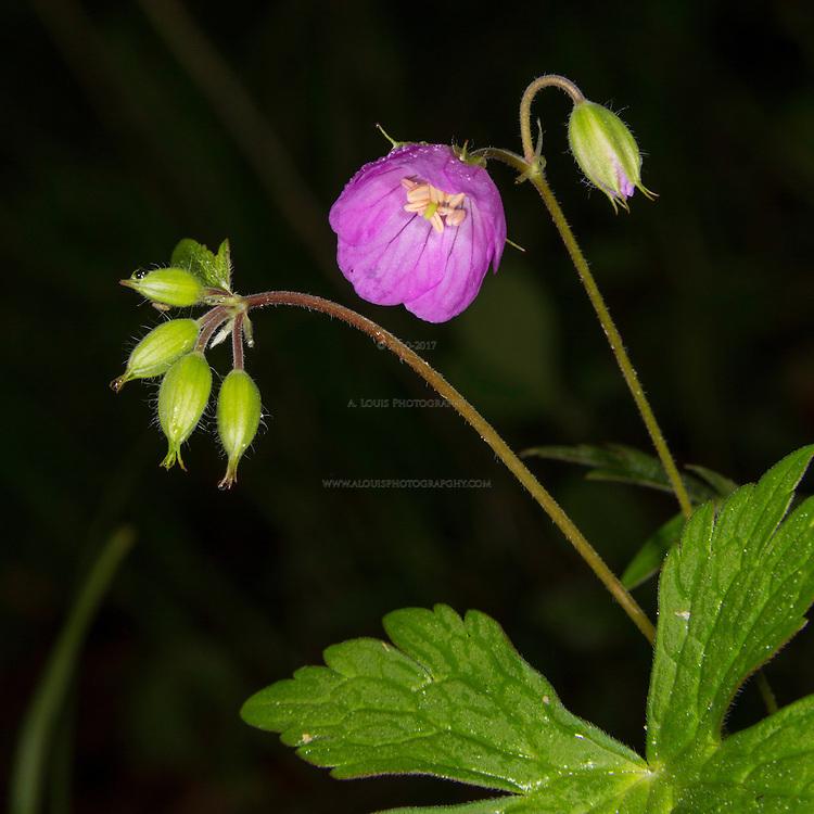 Wild Geranium beginning to bloom