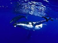 whales, humpbacks,  Humpback Whale, Megaptera novaeangliae, with parasitic acorn barnacles attached under chin, Cornula diaderma, Tonga, Pacific Ocean, big, marine mammal, Tim Rock