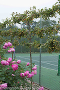 Malus robusta 'Red Sentinel' - crab apple trained as an espalier to help disguise the tennis court with Rosa 'Royal Jubilee' an Englsih shrub rose bred by David Austin  - September