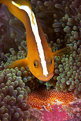An Orange Anemonefish, Amphiprion sandaracinos, dutifully tends its clutch of eggs. Anilao, Philippines, Pacific Ocean