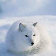Arctic Fox resting. Hudson Bay, Canada