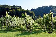 Weinberg Königsweingarten, Bodmann (ältester Weinberg Deutschlands), Bodensee, Baden-Württemberg, Deutschland