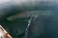 Humpback whale in Douglas Channel, BC, Canada