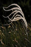 France, Languedoc Roussillon, Lozère (48), Cevennes, Causse Méjean, graines de Stipe penné, N.L.: Stipa pennata, (graminées), arêtes plumeuses, servant à la dissémination des graines