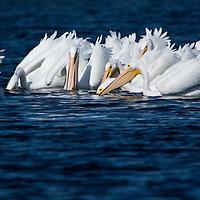 White Pelicans feeding