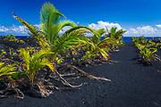 Young coconut palms at the new Kaimu black sand beach, Kalapana, The Big Island, Hawaii USA