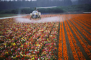 A helicopter sprays flowers grown for seed: Lompoc, California. USA.