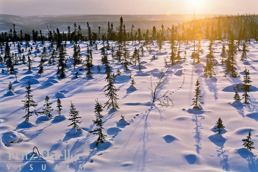 Winter sun along the treeline near the Arctic Circle in North Yukon