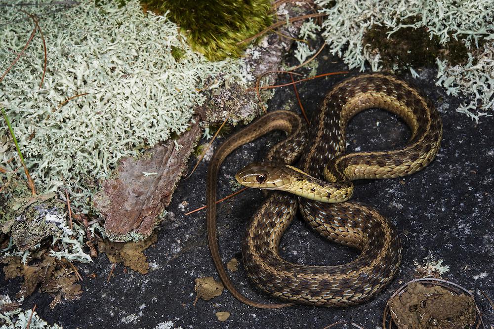 Eastern Garter Snake (Thamnophis sirtalis)<br /> Clayton, GeorgiaEastern<br /> USA<br /> HABITAT & RANGE: Near water or moist places in eastern USA