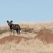 African wild dog (Lycaon pictus) in Lewa Wildlife Conservancy. Kenya, Africa