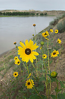 Common Sunflower<br /> (Helianthus annuus) along banks of the Yellowstone River Montana