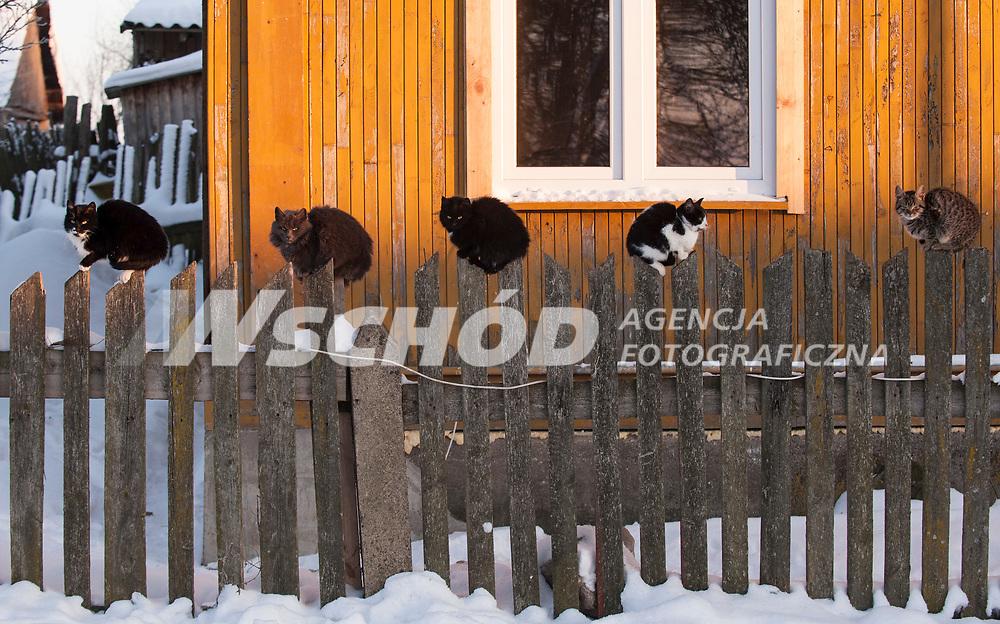 27.01.2013 wies Pierozki woj podlaskie N/z koty na wiejskim plocie fot Michal Kosc / AGENCJA WSCHOD