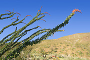 blooming leaningOcotillo branches in the Anza Borrego Desert, California, USA