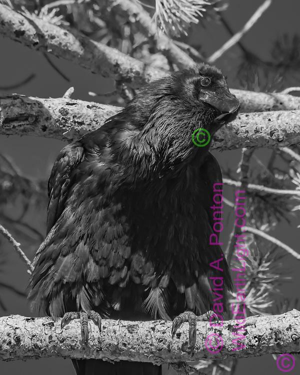 Raven perched in lodgepole pine tree, © David A. Ponton