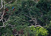 Carajas_PA, Brasil...Floresta Nacional dos Carajas, Para. Na foto Arara Vermelha (Ara chloropterus)...The Carajas National forest , Para. In this photo Red-and-green Macaw (Ara chloropterus)...Foto: JOAO MARCOS ROSA / NITRO