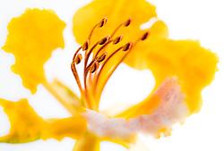 Royal Poinciana -yellow#30