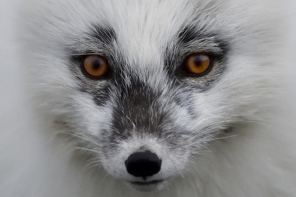 Arctic fox, portrait; close up; face; wildlife; Alopex lagopus, Winter; summer; white; fur, Svalbard, Spitzbergen, Arctic Norway