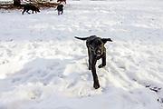 John Haugland's Labrador retriever puppies play in the snow.