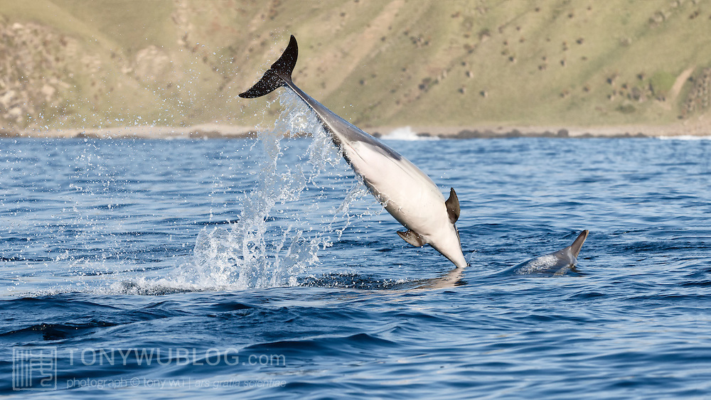 Female Indo-pacific common dolphin (Delphinus delphis tropicalis) plunging back into the water to grab fish. This dolphin was part of a group systematically attacking a ball of bait fish.