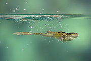 Common Frog, Rana temporaria, leaping, jumping into pond, controlled environment, high speed photographic technique, UK