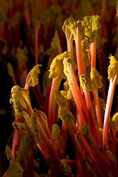 Forced Rhubarb 'Timperley Early'. Rheum rhubarbarum