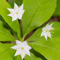 Starflower, Trientalis borealis, blooming in a forest in Epping, New Hampshire.