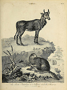 Capra The Picta Antelope or Nylgau and the Beaver Copperplate engraving From the Encyclopaedia Londinensis or, Universal dictionary of arts, sciences, and literature; Volume III;  Edited by Wilkes, John. Published in London in 1810