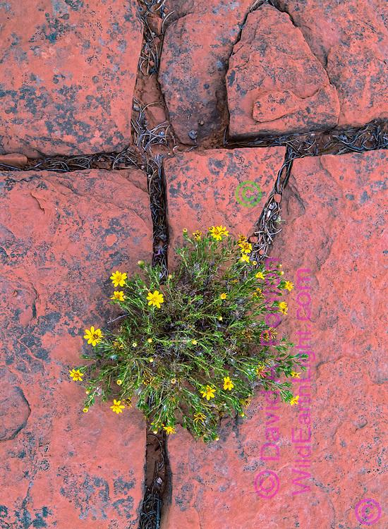 Cracks in sandstone seem to form Christian cross, Jemez Red Rocks area, New Mexico, © David A. Ponton