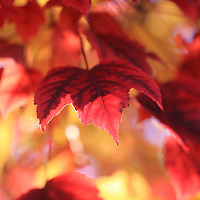 """""""In Red and Gold""""<br /> <br /> Lovely Maple leaves on one tree in beautiful colors of red and gold!!<br /> <br /> Fall Foliage by Rachel Cohen"""