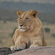 male lion chilling on a rock