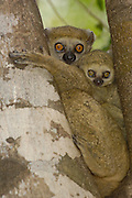 Avahi Lemur (Avahi occidentalis) mother with infant, vulnerable, endemic to western deciduous forest, Ankarafantsika Strict Nature Reserve, Madagascar