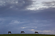 Horses grazing, Cirencester, Gloucestershire, United Kingdom