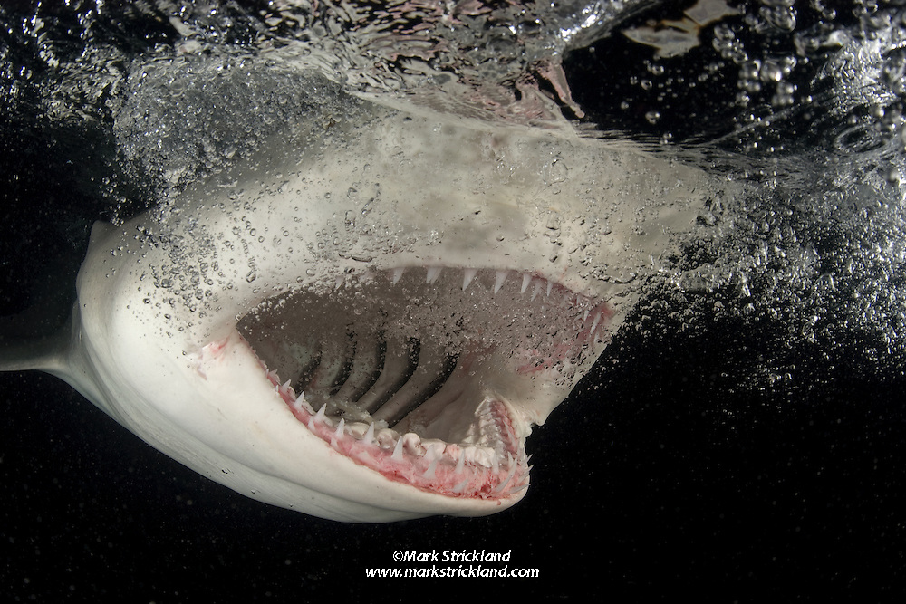 "A Lemon Shark, Negaprion brevirostris, says ""Ahh"", displaying an abundance of needle-sharp teeth that are designed primarily for grasping fish. Little Bahama Bank, Bahamas, Atlantic Ocean"