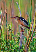 Least Bittern in cattails in early morning light - Mississippi