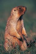 Tarbagan marmot or Siberian marmot<br /> (Marmota sibirica)<br /> Eastern Steppe<br /> Mongolia<br /> Range: Russia, Monolia & China