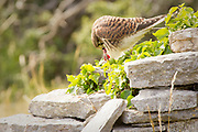 Kestrel (Falco tinnunculus) with rodent prey on dry stone wall. Dorset, UK.