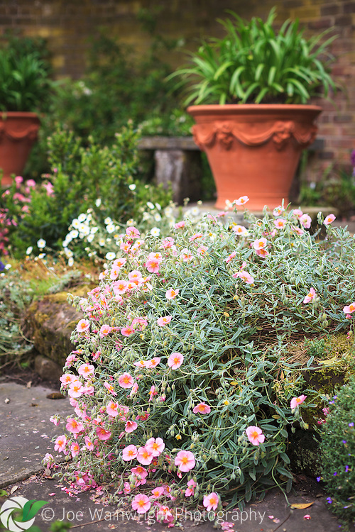 A helianthemum tumbles over a low sandstone step in the Flag Garden, at Arley hall, Cheshire. .  This image is available for sale for editorial purposes, please contact me for more information.