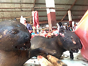 Knocked out with a club and blowtorched ALIVE: How 'hundreds of thousands' of dogs and cats are being cruelly slaughtered for meat in Indonesian markets<br /> <br /> The overpowering stench of charred skin wafts through the 'meat section' of Tomohon market, on the Indonesian island of Sulawesi.<br /> As flies buzz around the carcasses of dogs, cats, pigs and snakes which are strewn across the blood-stained floor, two teenage girls pick out the dog they want for dinner. <br /> The emaciated dogs cower from the lasso of a slaughterhouse worker who reaches into the metal cage they have been trapped in for days - without food or water.<br /> Their eyes widen with fear as he yanks another pup out by its neck and clubs it over the head until it lies motionless on the ground.<br /> The dog looks dead but dreadful footage, shot only this week, shows the animal frantically kicking out as the market worker fires up a blowtorch and burns it to death.<br /> This dog was among the 'hundreds of thousands' of strays and pets which are inhumanely slaughtered every year to supply Indonesia's dog meat trade, animal protection groups claim.<br /> <br /> <br /> The heartbreaking video, and equally disturbing photographs, were taken by Rupert Imhoff, a research officer at the Bob Irwin Wildlife and Conservation Foundation, who flew to northern Sulawesi after he heard that dogs were being beaten and burned to death.<br /> He saw other domestic animals such as cats and rabbits - as well as wild bats, jungle rats, pigs and snakes - suffering the same gruesome fate.<br /> MailOnline has even seen disturbing footage which shows market workers cutting open a cat which had two unborn kittens inside.<br /> Many of the dogs who end up in slaughterhouses are strays and pets. Dog snatchers on motorbikes lasso them around the neck and speed off, animal rights groups have claimed.<br /> Some dogs are captured while their owners are walking them, and a rare few are bought from poor villagers for 'a few dollars'.<br /> <br /> Many Indonesian street dogs are accustomed to people, who feed them