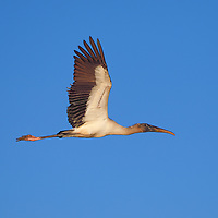 Southeast Florida bird photography from nature photographer Juergen Roth showing a Wood Stork in flight above Wakodahatchee Wetlands in Palm Beach County, FL.  <br /> <br /> Wood Stork birds photography images from the Loxahatchee Slough Natur are available as museum quality photo prints, canvas prints, wood prints, acrylic prints or metal prints. Fine art prints may be framed and matted to the individual liking and decorating needs:<br /> <br /> https://juergen-roth.pixels.com/featured/wood-stork-juergen-roth.html<br /> <br /> All digital nature photo images are available for photography image licensing at www.RothGalleries.com. Please contact me direct with any questions or request.<br /> <br /> Good light and happy photo making!<br /> <br /> My best,<br /> <br /> Juergen<br /> Prints & Licensing: http://www.rothgalleries.com<br /> Instagram: https://www.instagram.com/rothgalleries<br /> Twitter: https://twitter.com/naturefineart<br /> Facebook: https://www.facebook.com/naturefineart