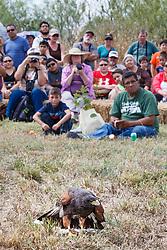 Showing Harris's Hawk at Raptor Show by Last Chance Forever rehabilitation center, Mitchell Lake Audubon Center, San Antonio, Texas, USA.