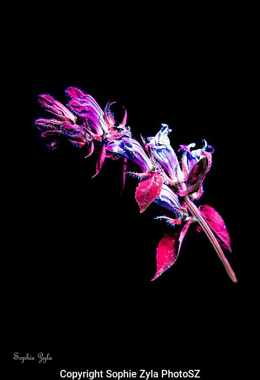 Blue Cardinal Flower in Ultraviolet Light