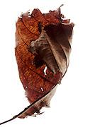 curling and disintegrating brown leaf