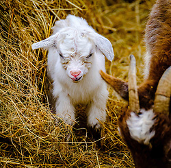 A pygmy goat kid just six hours old takes a first look at the world with its mum on a smallholding in South Lanarkshire, Scotland<br /> <br /> (c) Andrew Wilson | Edinburgh Elite media