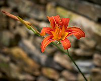 Orange Day Lily. Image taken with a Leica CL camera and 60 mm f/2.8 lens